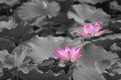 Lotus. Two lotus flowers are blooming in leaves Royalty Free Stock Photos