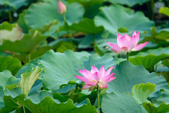 Lotus. Two lotus flowers are blooming in leaves Royalty Free Stock Image