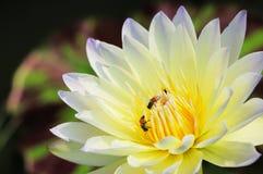 Lotus und Biene Lizenzfreie Stockbilder