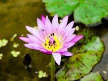 Lotus und Biene Lizenzfreies Stockfoto