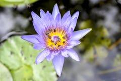 Lotus und Bienen Lizenzfreie Stockbilder