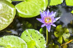 Lotus und Bienen Lizenzfreies Stockbild