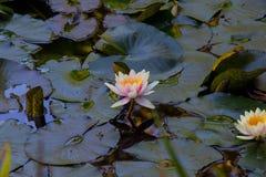 Lotus und Lily Pad Stockfoto