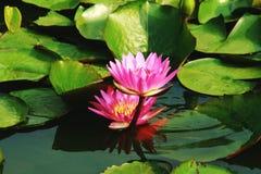 Lotus und Unterwasserfische Stockbild