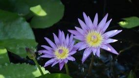 Lotus under raining stock video footage
