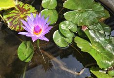 Lotus in uno stagno cristallino fotografie stock libere da diritti