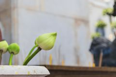 The lotus used in worship. royalty free stock images