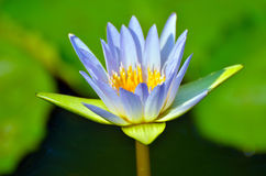 Floating water lily Royalty Free Stock Images