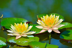 Floating water lily Stock Photography