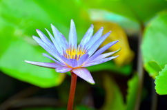 Floating water lily Stock Photos