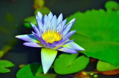 Floating water lily Royalty Free Stock Photo