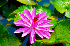 Floating water lily Royalty Free Stock Image