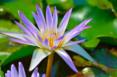 Floating water lily Royalty Free Stock Photography