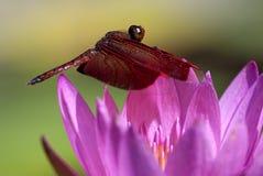 Lotus van de libel stock foto