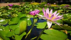 Lotus-van de de tuinaard van het bloemwater de geneeskunde roze schoonheid stock videobeelden