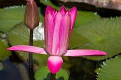 Lotus van Siam Stock Fotografie