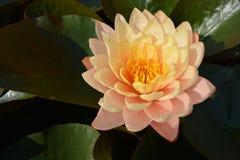 Lotus van verlichting Stock Foto