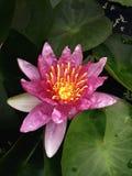 Lotus vermelho fotos de stock