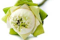 Lotus vert Images libres de droits