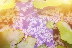 Lotus vert de feuille sur l'eau avec la lumière du soleil Copiez l'espace photos stock