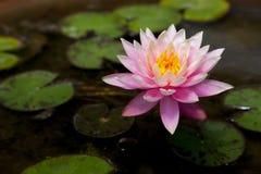 Lotus. Very nice lotus flower on the water Stock Photos