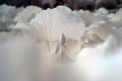 Lotus (vetenskapligt namn: Nelumbonucifera) Arkivfoton