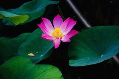 Lotus vietnamiano, delta de Mekong/Vietname fotografia de stock