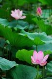 Lotus in vijver stock foto's