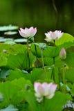 Lotus in vijver royalty-vrije stock foto's