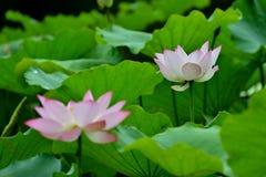 Lotus in vijver stock afbeeldingen