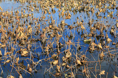 Lotus-vijver in de herfst Stock Afbeeldingen