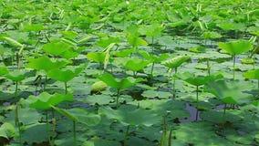 Lotus-vijver in de wind stock videobeelden