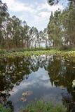 Lotus-vijver in het bos Stock Afbeelding