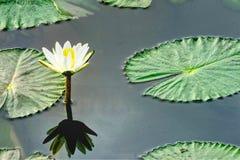 Lotus in vijver met bezinning en exemplaartekstruimte stock foto's