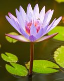 The lotus is violet Royalty Free Stock Image