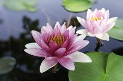 Lotus violet Images stock