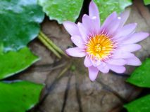 Lotus violet Photo stock