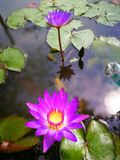 Lotus violet avec la feuille verte dans l'eau images stock