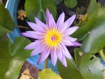 Lotus violet Stock Images
