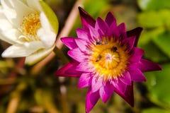 Lotus violet et une abeille Photos libres de droits