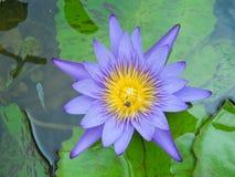 Lotus violet Stock Image
