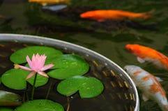 Lotus in vissenvijver Royalty-vrije Stock Afbeeldingen