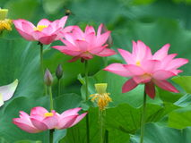 Lotus in volledige bloei Stock Foto's