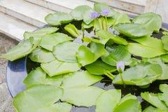 Lotus W Dużym Glinianym garnku Obrazy Stock