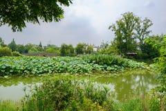 Lotus w jeziorze przy małą wioską na pogodnym letnim dniu Obrazy Stock