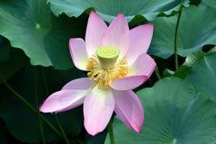 Lotus w parku z czerwonymi płatkami Zdjęcia Royalty Free