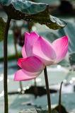 Lotus w popołudniowym świetle słonecznym Zdjęcia Royalty Free