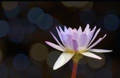 Lotus w tła bokeh Zdjęcie Royalty Free