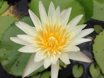 Lotus w Tajlandia Zdjęcia Royalty Free