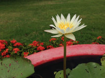 Lotus w Tajlandia Obraz Royalty Free